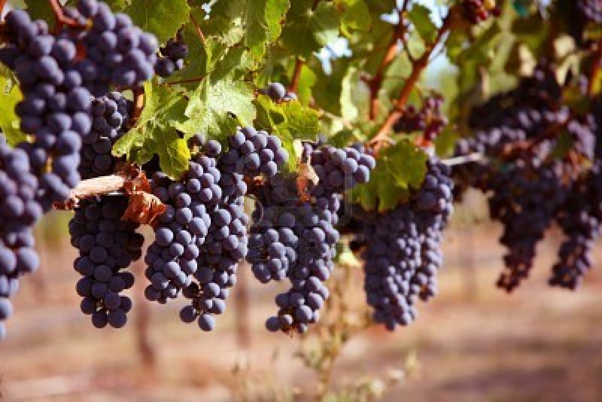 grapes-on-vine-in-vineyard